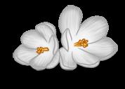 Açafrão